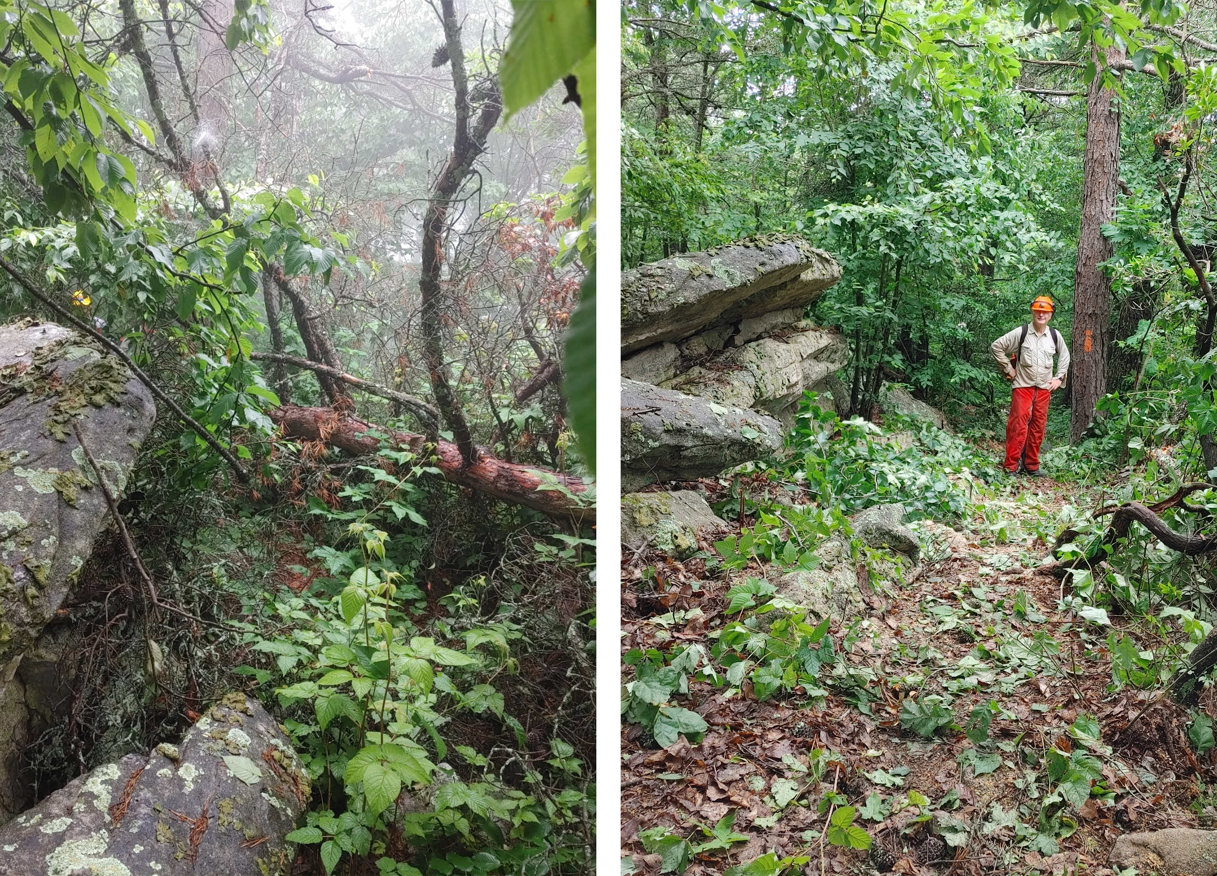 The large tree on Kerns Mountain, before and after Anstr Davidson cleared it